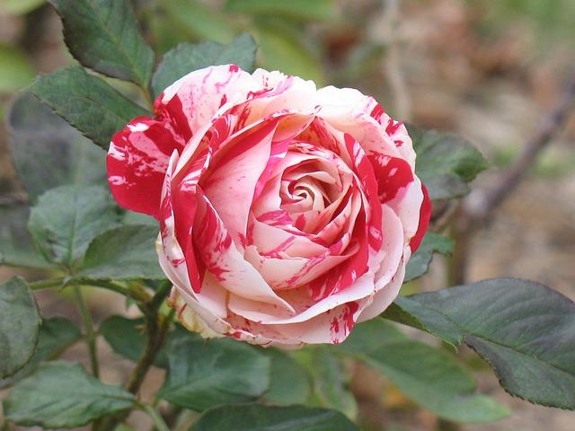 Rose, Flower, Petal, Flora, Leaf, Nature, Floral