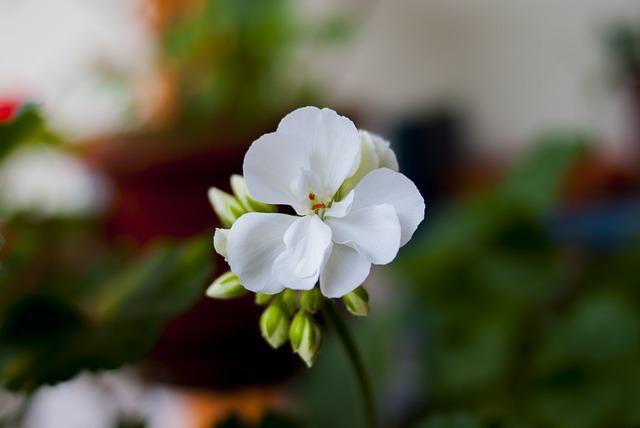 Jeranio, Flower, Nature, Plant, Garden, Leaf