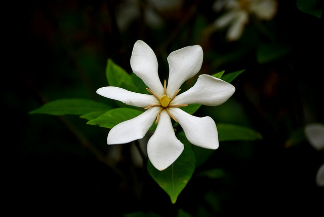 Flowers, Nature, Leaf, Plants, Gardenia