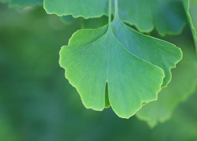 Gingko Biloba, Leaves, Nature