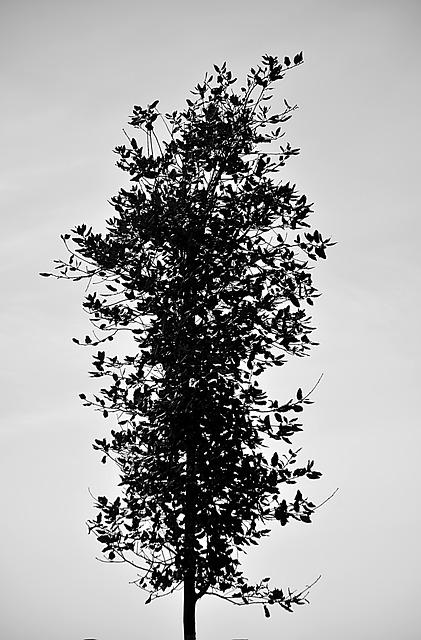 Tree, Leaves, Nature, Vertical, Black And White, Botany