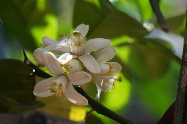 Citrus, Orange Blossom, Flower, Lemon, Nature, Flowers