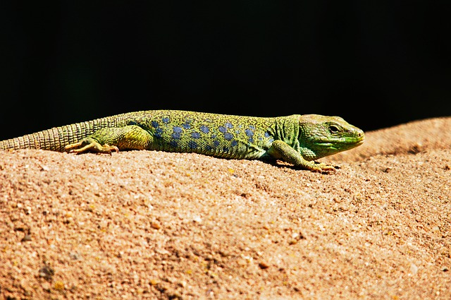 Emerald Lizard, Lizard, Animals, Nature