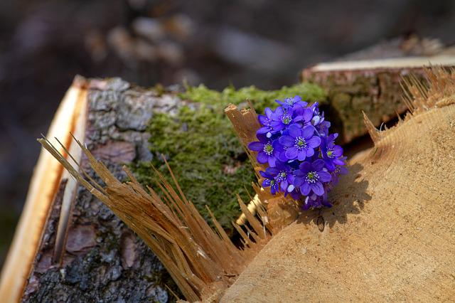 Flower, Hepatica, Forest, Wood, Log, Nature, Plant