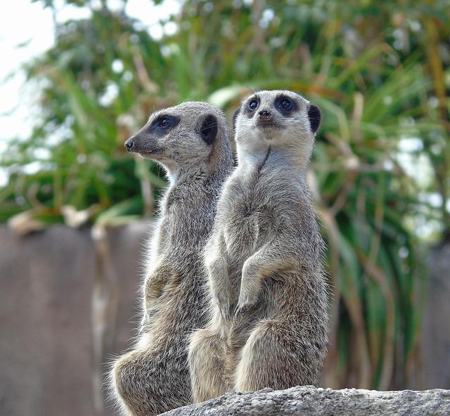 Meerkat, Wildlife, Mammal, Mongoose, Lookout, Nature
