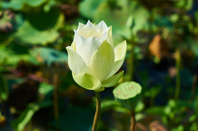 Lotus, Flower, Nature, Beautiful, The Leaves Are