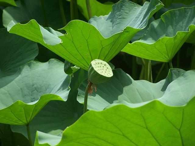 Lotus, Lotus Seed Head, Leaves, Aquatic Plants, Nature