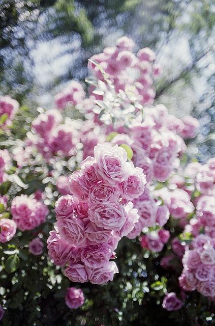 Pink, Rose, Vintage, Romantic, Flower, Nature, Love