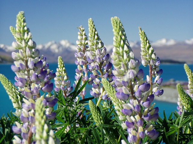 Lupinien, Nature, New Zealand, Plant, Landscape
