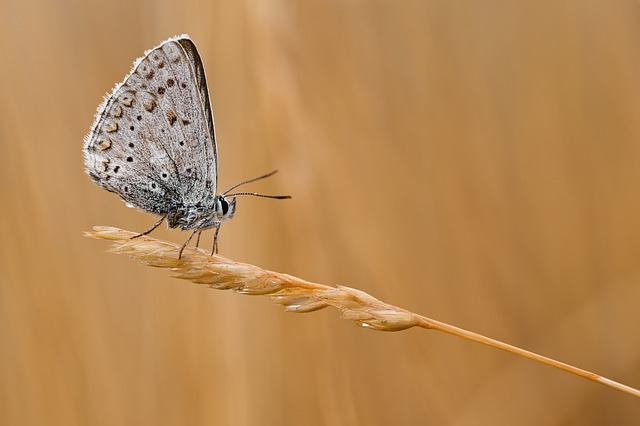 Common Blue, Butterfly, Macro, Insect, Close, Nature