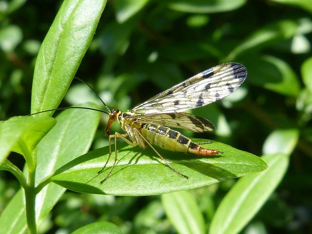 Insect, Communis, Animal, Nature, Macro, Panorpidae