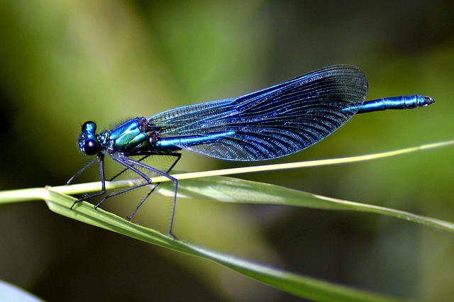 Dragonfly, Blue, Blue Dragonfly, Nature, Close, Macro