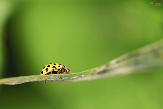 Macro, Ladybug, Bug, Yellow, Nature, Close Up