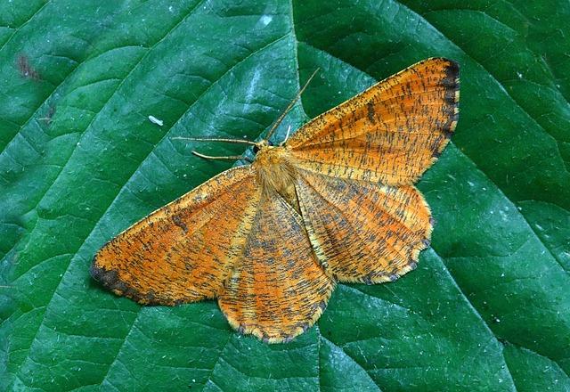 Moth, Macro, Lepidoptera, British, Nature, Insect