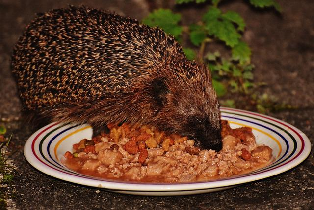 Hedgehog, Animal, Spur, Nature, Garden, Mammal, Hannah