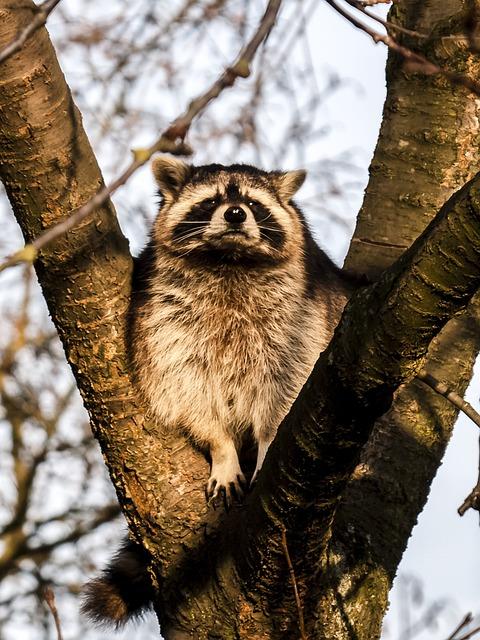 Raccoon, Mammal, Animal, Nature