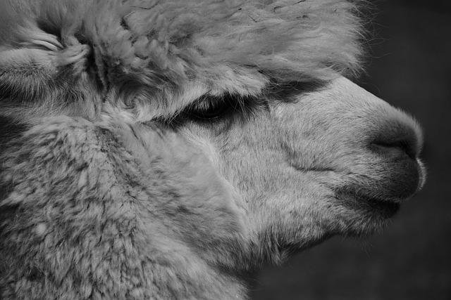 Alpaca, Animal, Wool, Mammal, Fluffy, Nature