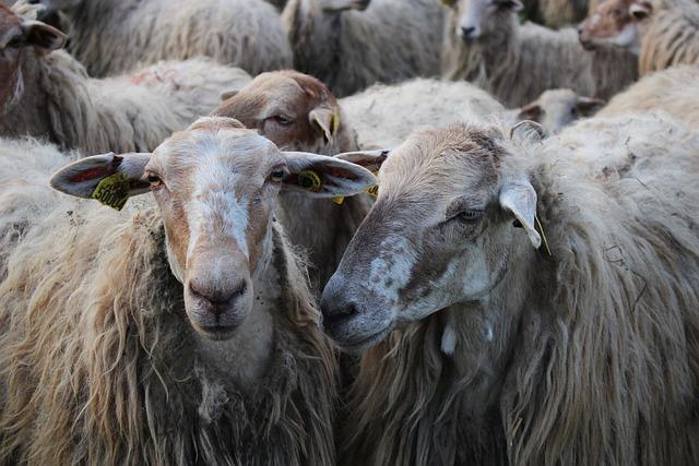 Mammal, Animal, Sheep, Livestock, Nature