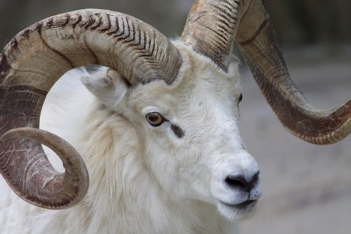 Ram, Sheep, Horns, Animal, Mammal, Nature, Wildlife