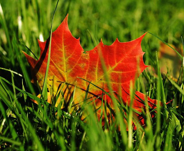Maple, Maple Leaf, Autumn, Leaf, Leaves, Nature