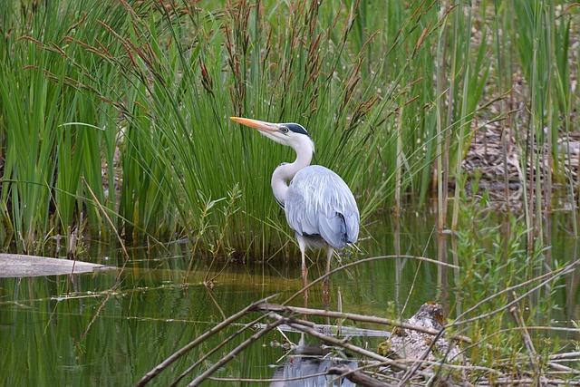 Grey Heron, Nature, Bird, Animal World, Marsh, Animal