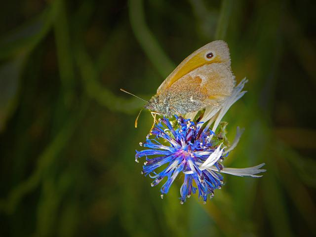 Butterfly, Flower, Nature, Insect, Plant, Macro, Meadow