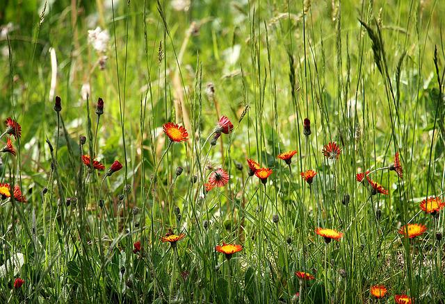 Pointed Flower, Grass, Nature, Grasses, Flowers, Meadow