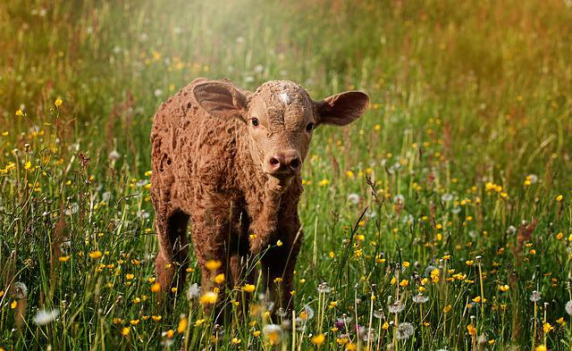 Calf, Brown, Reddish, Small, Sweet, Meadow, Out, Nature