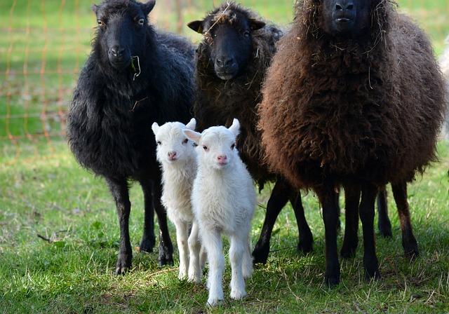 Nature, Animals, Sheep, Easter Lambs, Mecklenburg