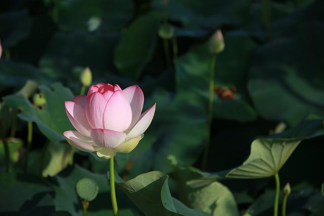 Lotus, Flowers, Water Lilies, Meditation, Nature