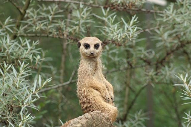 Meerkat, Animal, Nature, Tiergarten, Curious, Sand