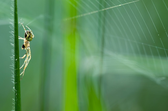 Autumn Spider, Metellina Segmentata, Female, Nature