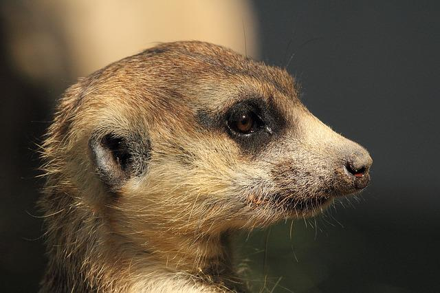 Mongoose, Meerkat, Wildlife, Nature, Africa, Animal