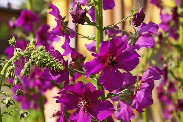 Mullein, Purple Flower, Garden, Purple, Flower, Nature
