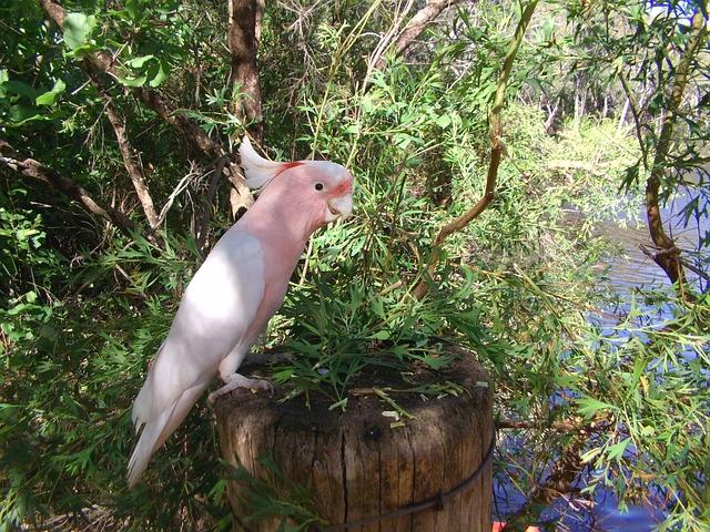 Cockatoo, Bird, Pink, Animal, Nature, Natural, Forest