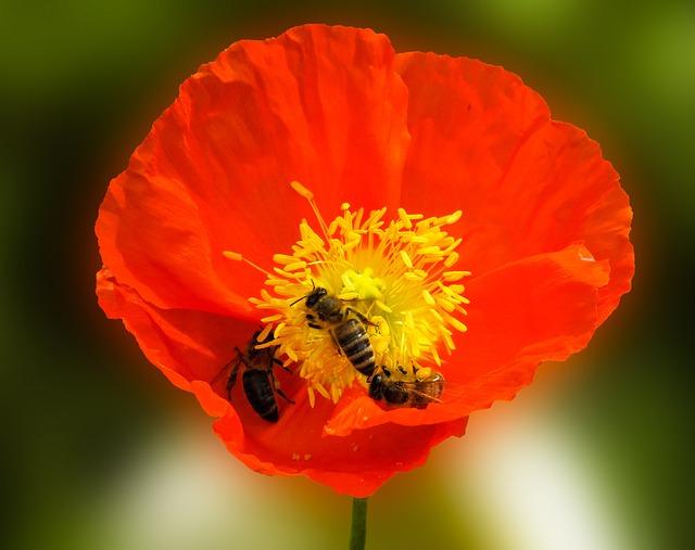 Nature, Flower, Animal, Bee, Poppy, Nectar, Blossom