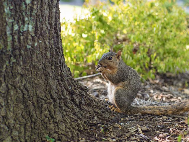 Squirrel, Oak, Tree, Nature, Autumn, Forest, Acorn