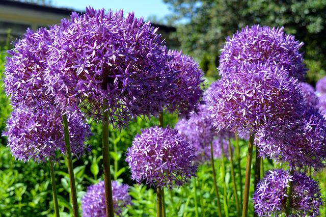 Ornamental Onion, Early, Violet, Nature, Allium, Purple