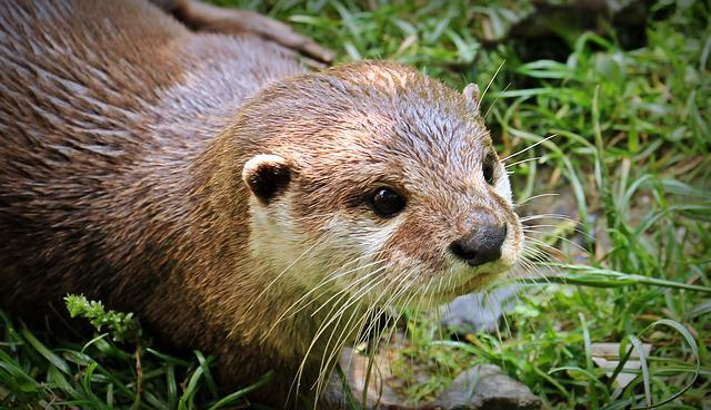 Otter, Otter-baby, Otter Baby, Nature