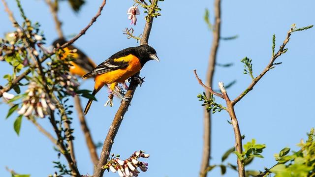 Tree, Nature, Outdoors, Bird, Oriole, Orange