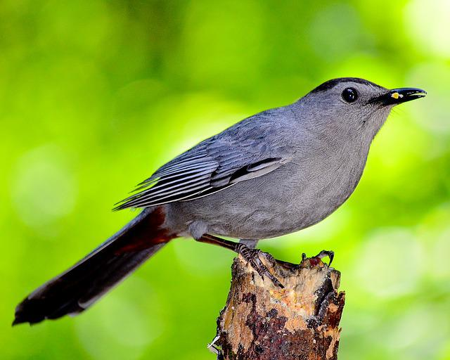 Bird, Nature, Outdoors, Ornithology, Forest, Catbird