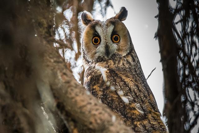 Owl, Long-eared Owl, Bird, Animal, Nature, Beak, Great