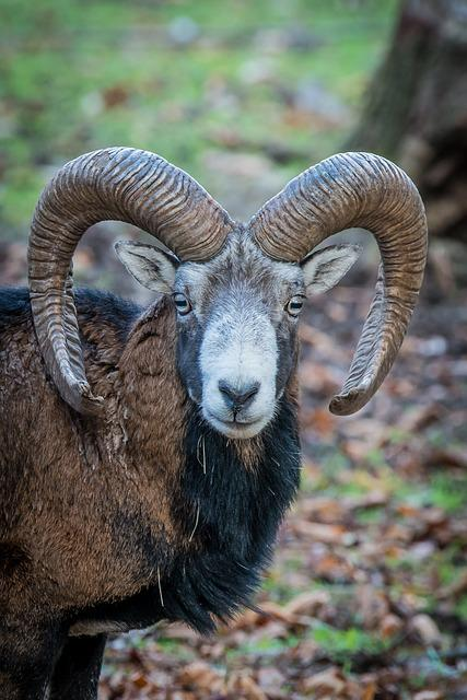 Nature, Forest, Animal, Mouflon, Nature Park