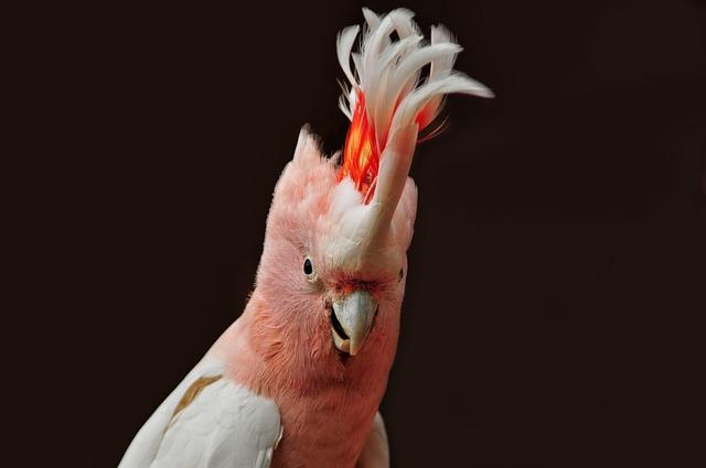 Major Mitchell's Cockatoo, Parrot, Ara, Color, Nature
