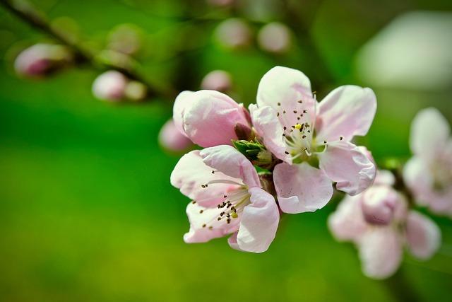 Peach Blossom, Bleed, Peach, Nature, Plant, Tree, Green