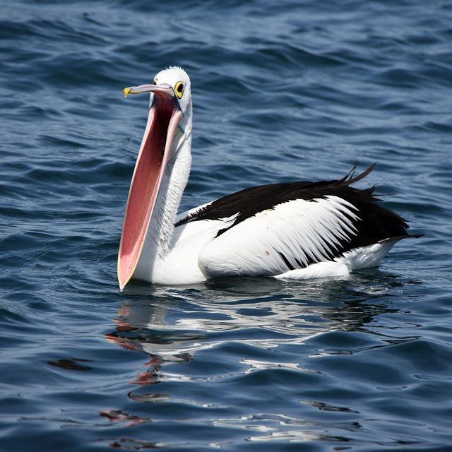 Pelican, Beak, Open, Bird, Water, Nature, Wildlife, Bay
