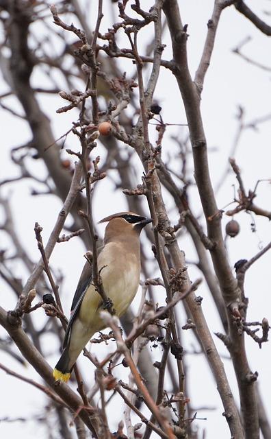 Bird, Cedar Waxwing, Nature, Outdoor, Perched, Wild