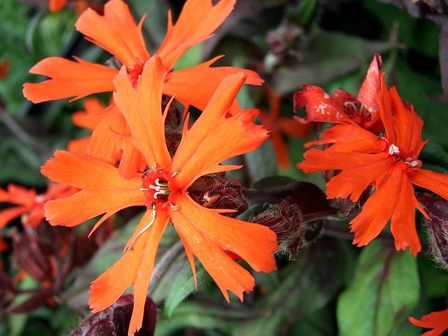 Lychnis, Flower, Perennial, Garden Flowers, Nature