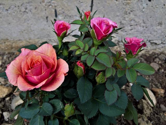 Flower, Flora, Nature, Rose, Petal