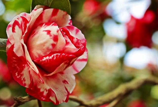 Camellia, Camellia Flower, Flower, Nature, Petal